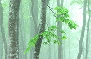 霧中のブナ